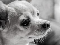 Retrato de la chihuahua blanco y negro imagen de archivo libre de regalías
