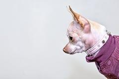Retrato de la chihuahua del perro Foto de archivo