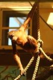 Retrato de la ejecución iluminada por el sol divertida del mono del orangután en cuerdas en parque zoológico Foto de archivo libre de regalías