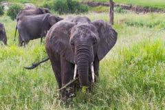Retrato de la familia de los elefantes Tarangire, Tanzania Fotos de archivo