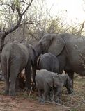 Retrato de la familia del ` de los elefantes con sus elefantes del bebé en la sabana Fotos de archivo