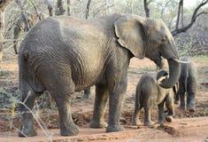 Retrato de la familia del ` de los elefantes con sus elefantes del bebé en la sabana Imagenes de archivo