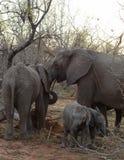 Retrato de la familia del ` de los elefantes con sus elefantes del bebé en la sabana Foto de archivo