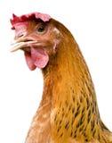 Retrato de la gallina Fotografía de archivo