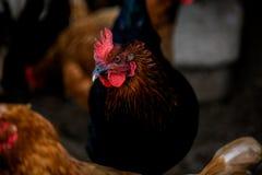 Retrato de la gallina brillantemente coloreada formidable Pájaro nacional de la gama libre y otras gallinas en fondo en granja Ec Foto de archivo libre de regalías