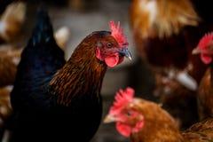 Retrato de la gallina brillantemente coloreada formidable Pájaro nacional de la gama libre y otras gallinas en fondo en granja Ec Imagenes de archivo