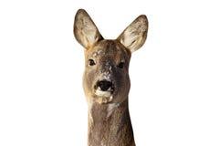 Retrato de la gama de los ciervos de huevas Foto de archivo