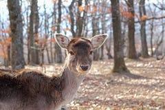 Retrato de la gama de los ciervos en barbecho Imágenes de archivo libres de regalías