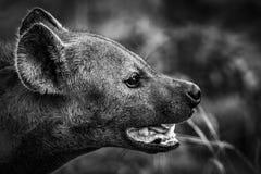 Retrato de la hiena Foto de archivo libre de regalías