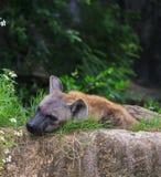 Retrato de la hiena en el parque zoológico de Khao Kheow Foto de archivo