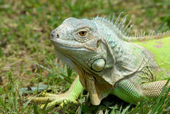 Retrato de la iguana foto de archivo