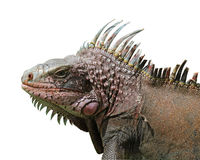 Retrato de la iguana, aislado Imagenes de archivo