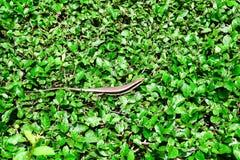 Retrato de la iguana en el fondo de la hoja Fotografía de archivo