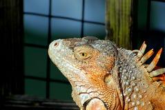 Retrato de la iguana, la Florida del sur Foto de archivo