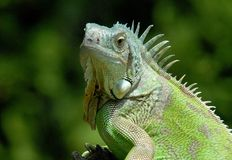 Retrato de la iguana verde fotos de archivo