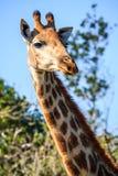 Retrato de la jirafa Fotos de archivo libres de regalías
