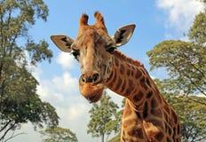 Retrato de la jirafa Fotografía de archivo