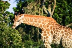 Retrato de la jirafa en una sabana Foto de archivo libre de regalías
