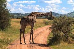 Retrato de la jirafa grande cerca de un árbol Serengeti, Tanzania Imagen de archivo