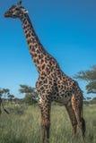 Retrato de la jirafa que coloca el parque nacional de Serengeti Imagen de archivo