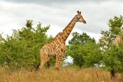 Retrato de la jirafa solitaria Imágenes de archivo libres de regalías