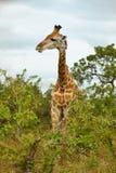 Retrato de la jirafa solitaria Imagen de archivo libre de regalías