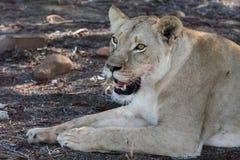 Retrato de la leona Foto de archivo