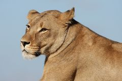 Retrato de la leona Fotos de archivo