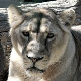 Retrato de la leona Imagenes de archivo