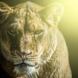 Retrato de la leona Fotos de archivo libres de regalías