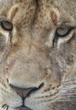 Retrato de la leona Fotografía de archivo libre de regalías