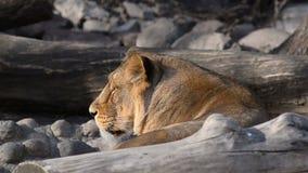 Retrato de la leona entre las rocas almacen de video