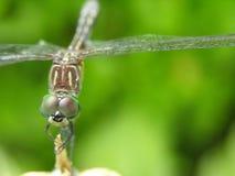 Retrato de la libélula Imágenes de archivo libres de regalías