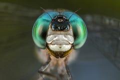 Retrato de la libélula con cierre de la macro de los ojos azules y verdes encima del detalle Fotos de archivo