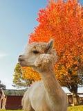 Retrato de la llama de la alpaca en caída Imagen de archivo libre de regalías