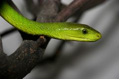 Retrato de la mamba verde, viridis del Dendroaspis imágenes de archivo libres de regalías