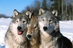 Retrato de la manada de lobos de la madera Foto de archivo libre de regalías