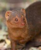 Retrato de la mangosta enana Imagen de archivo libre de regalías