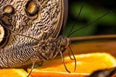Retrato de la mariposa Fotografía de archivo libre de regalías