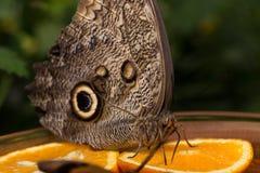 Retrato de la mariposa Imagen de archivo libre de regalías