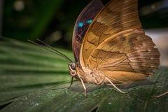 Retrato de la mariposa Foto de archivo libre de regalías