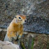 Retrato de la marmota Fotos de archivo libres de regalías
