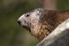 Retrato de la marmota Foto de archivo