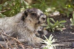 Retrato de la marmota canosa Fotos de archivo libres de regalías
