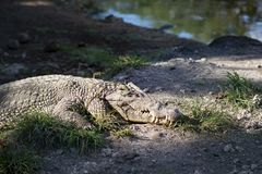 Retrato de la mentira de mentira del cocodrilo en una orilla del río debajo del sol cuba fotos de archivo libres de regalías
