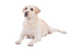 Retrato de la mentira hermosa del perro (golden retriever) aislado en w Imagen de archivo libre de regalías