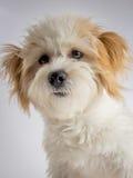 Retrato de la mezcla maltesa del perro de la raza de la mezcla Imagen de archivo libre de regalías