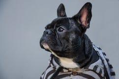 Retrato de la mirada seria, triste, cansada negra del perrito frenc joven imagen de archivo