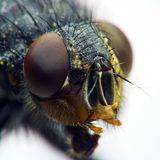 Retrato de la mosca doméstica Foto de archivo libre de regalías