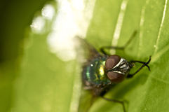 Retrato de la mosca en una hoja verde Fotografía de archivo libre de regalías